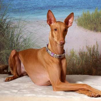 Самые дорогие собаки фото - Фараон