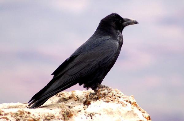 Самые умные животные в мире фото - Вороны