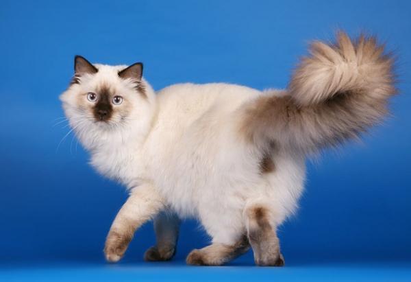 Самые красивые кошки фото - Рэгдолл