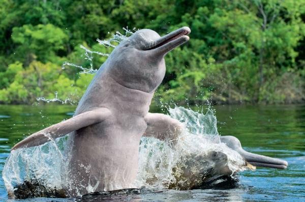 Самые странные животные фото - Дельфин китайский
