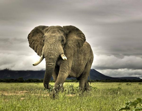 Самые опасные животные в мире фото - Слон