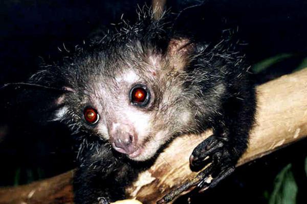 Самые странные животные фото - зверек Ай-ай