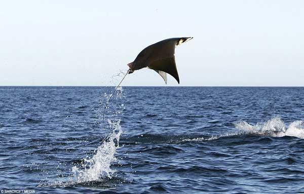 Летающие животные фото - Мобула