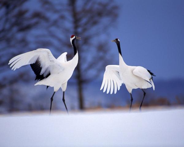 Самые большие птицы в мире фото - Журавль