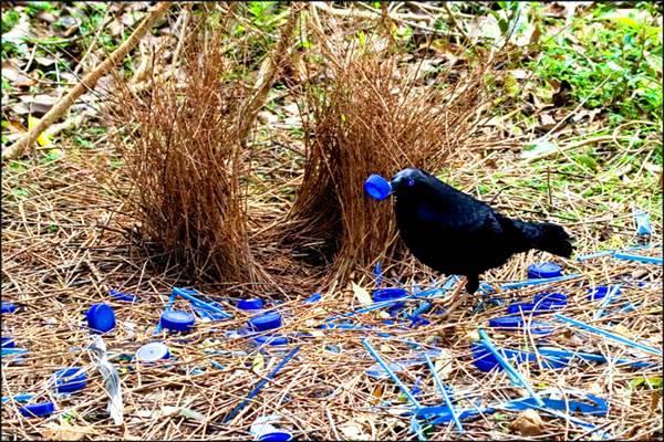 Необычное поведение животных - у птиц шалашников ...