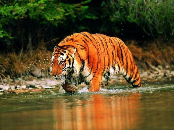 Самые сильные животные в мире фото - тигр