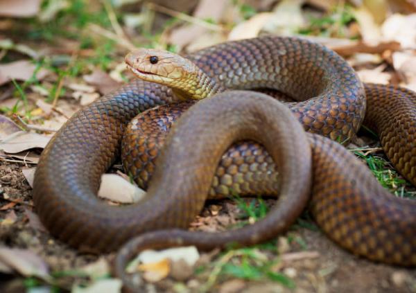 Самые ядовитые змеи в мире - мулга