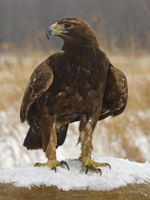 Хищные птицы фото самых страшных - Беркут