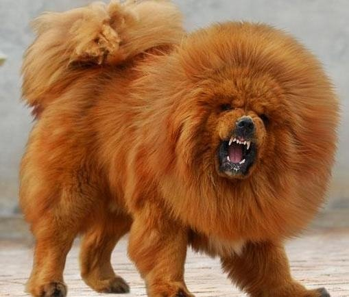 Самые дорогие собаки фото - Тибетский мастифф