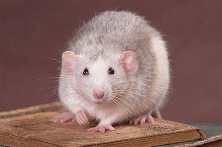 Самые умные животные в мире фото - Крысы