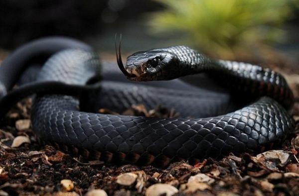 Самые большие змеи фото - Черная мамба