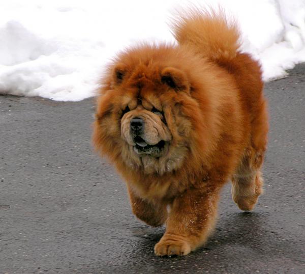Самые злые собаки в мире фото - Чау-чау