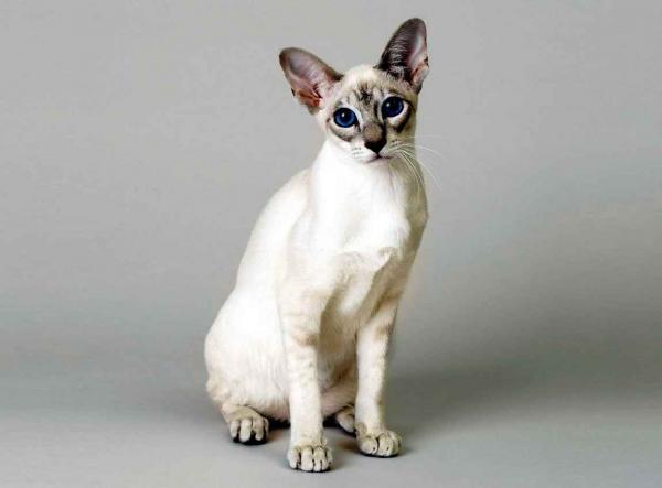 Самые красивые кошки фото - Сингапурская кошка