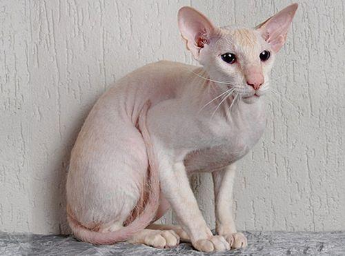 Самые дорогие кошки фото - Петербургский сфинкс