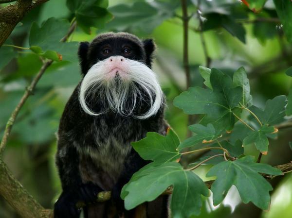 Самые странные животные фото - Императорский тамарин