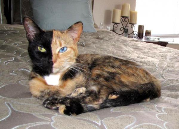 Необычный окрас животных фото - кот химера