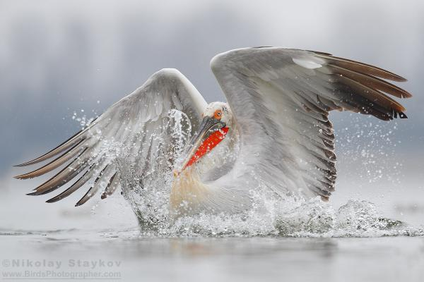 Самые большие птицы в мире фото - Кудрявый пеликан