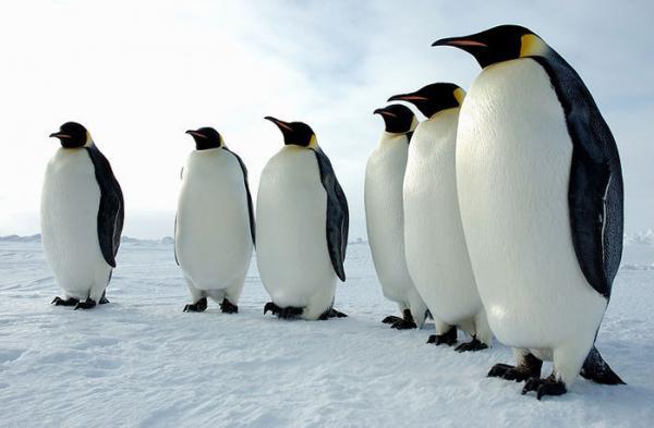 Необычное поведение животных - пингвины Адели...