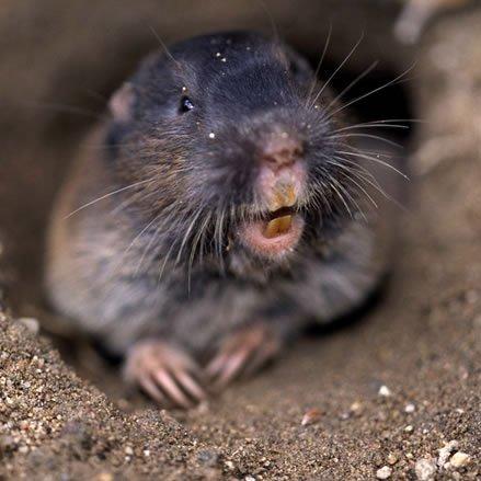 Подземные животные - кто живет под землей фото - гофер