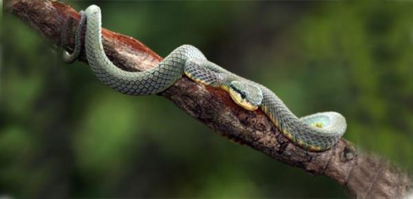 Самые ядовитые змеи в мире - гремучая змея