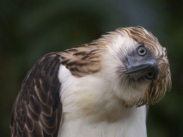 Хищные птицы фото самых страшных - Филиппинской орел