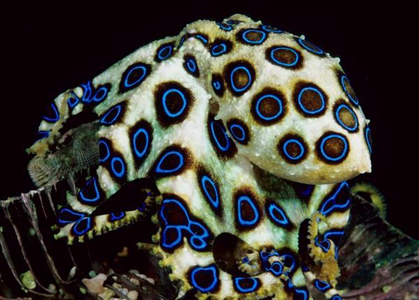 Самые ядовитые животные в мире фото - кольцевидный осьминог