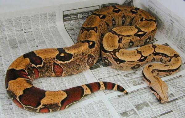 Самые большие змеи фото - Удав
