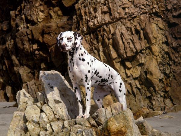 Самые злые собаки в мире фото - Далматинцы