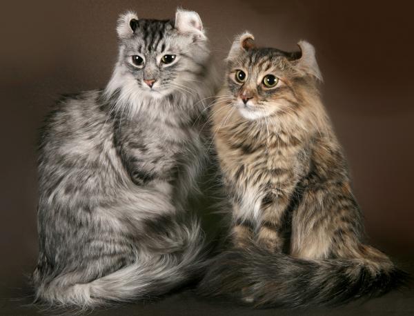 Самые красивые кошки фото - Американский керл