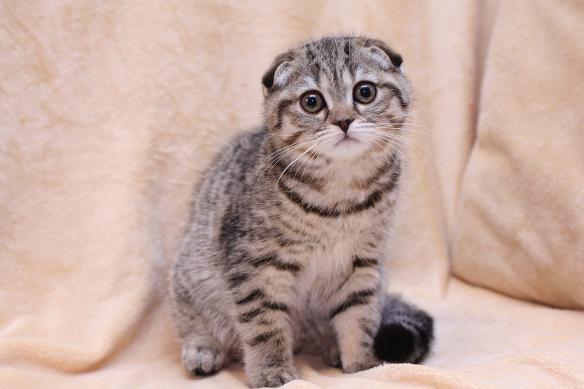 Самые дорогие кошки фото - Шотландская вислоухая кошка