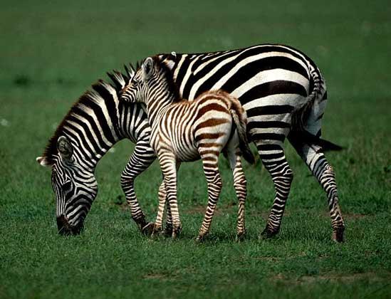 Самые быстрые животные в мире фото - зебра