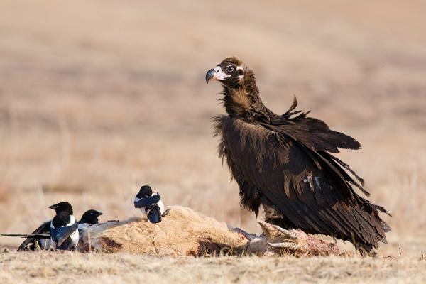 Самые большие птицы в мире фото - Черный гриф