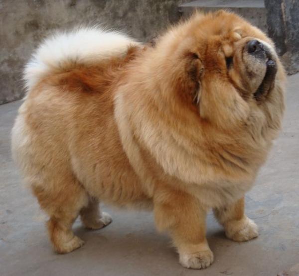 Самые дорогие собаки фото - Чау-чау