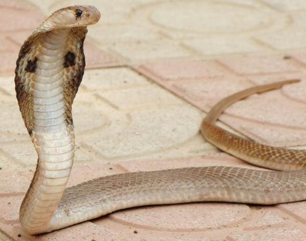 Самые большие змеи фото - Королевская кобра