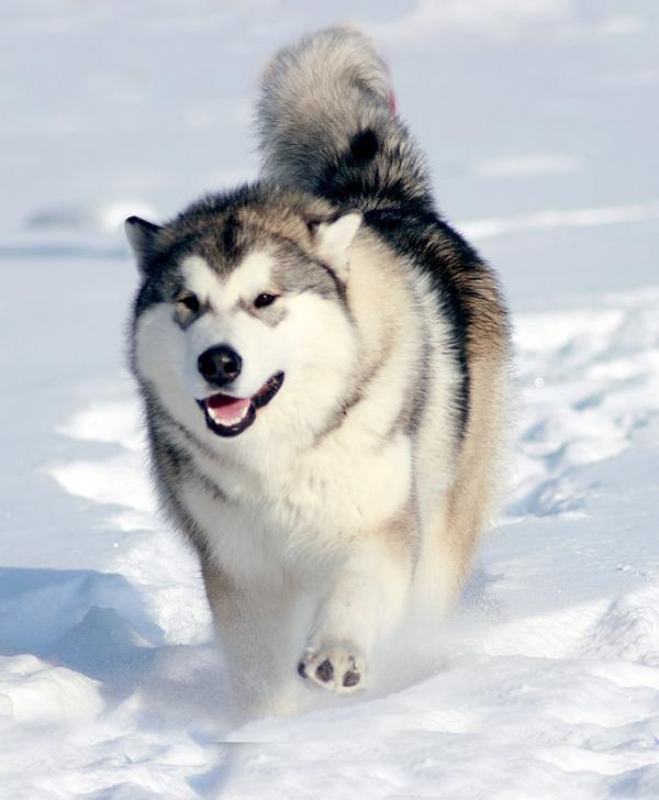Самые злые собаки в мире фото - Аляскинский маламут