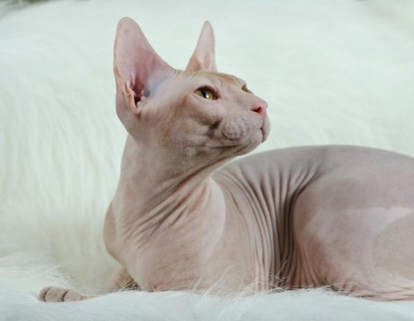 Самые красивые кошки фото - Сфинкс