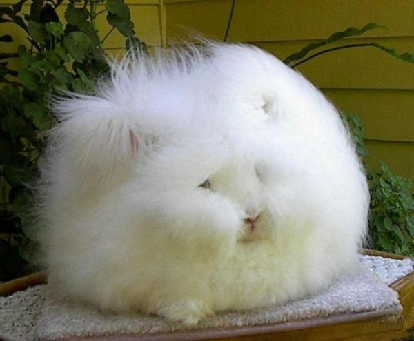 Самые странные животные фото - Ангорский кролик