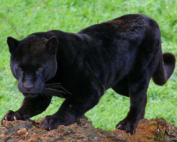 Самые опасные животные в мире фото - Семейство кошачьи