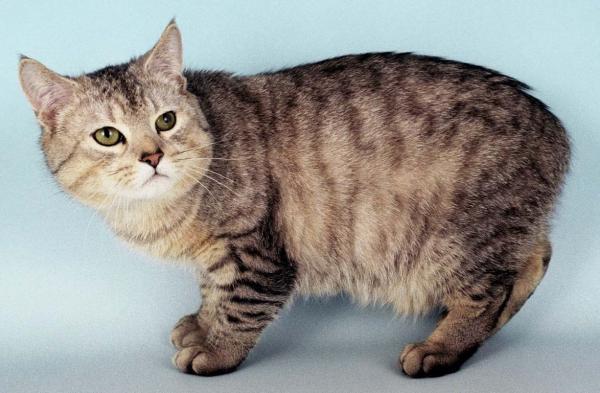 Самые дорогие кошки фото - мэнская кошка