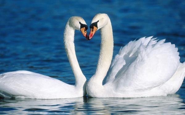 Самые большие птицы в мире фото - Лебедь