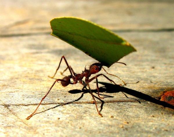 Самые сильные животные в мире фото - муравей-листорез