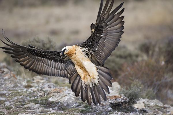 Хищные птицы фото самых страшных - Бородач