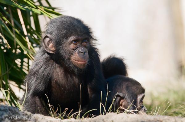 Самые умные животные в мире фото - Карликовые шимпанзе