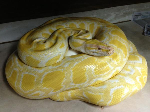 Самые большие змеи фото - Желтый тигровый питон
