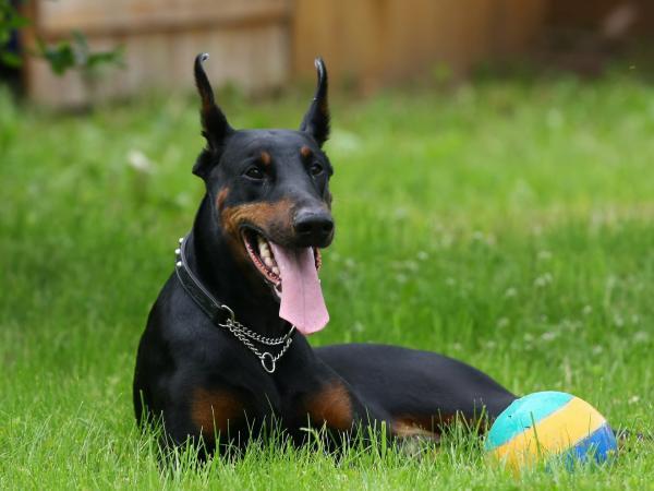 Самые злые собаки в мире фото - Доберман