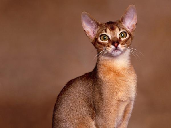 Самые красивые кошки фото - Абиссинская кошка
