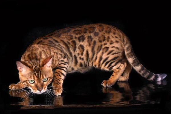 Самые дорогие кошки фото - Бенгальская кошка
