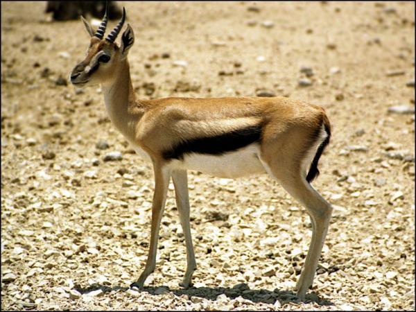 Самые быстрые животные в мире фото - газель Томсона