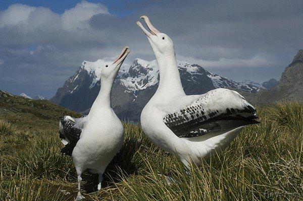 Самые большие птицы в мире фото - Альбатрос