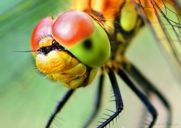 Глаза животных фото - стрекоза